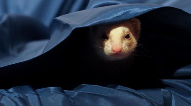 Rat sur une couverture